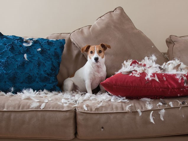 Cachorro com almofadas destruídas.