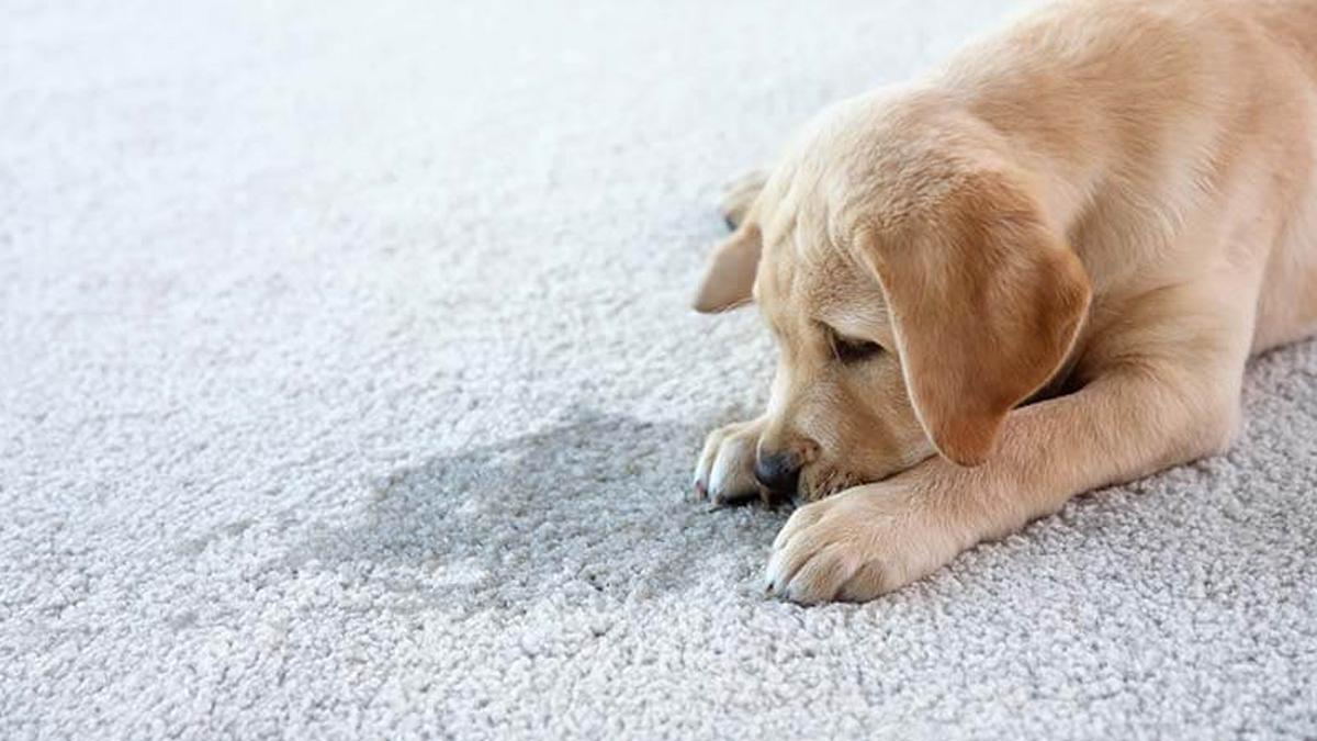 Cão aparentemente triste por ter feito xixi no local errado.